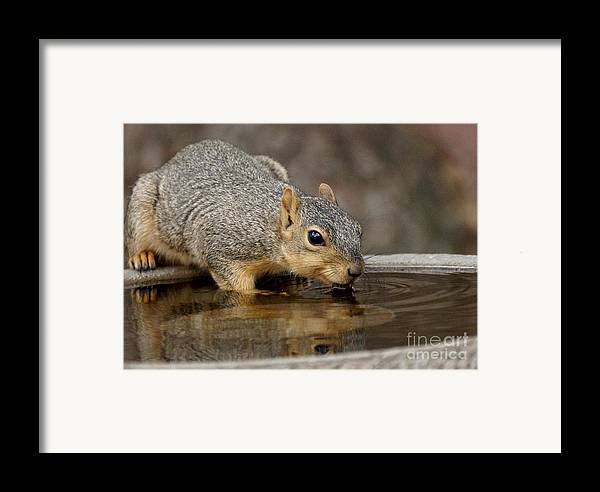 Squirrel Framed Print featuring the photograph Fox Squirrel by Lori Tordsen