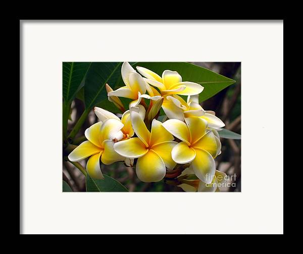Stamen Framed Print featuring the photograph Fragrant Blossoms Of The Pagoda Tree by Yali Shi