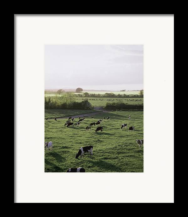 Field Framed Print featuring the photograph Friesian Bullocks, Ireland Herd Of by The Irish Image Collection