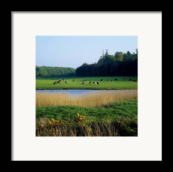 Animals Framed Print featuring the photograph Friesian Cattle, Near Cobh, Co Cork by The Irish Image Collection