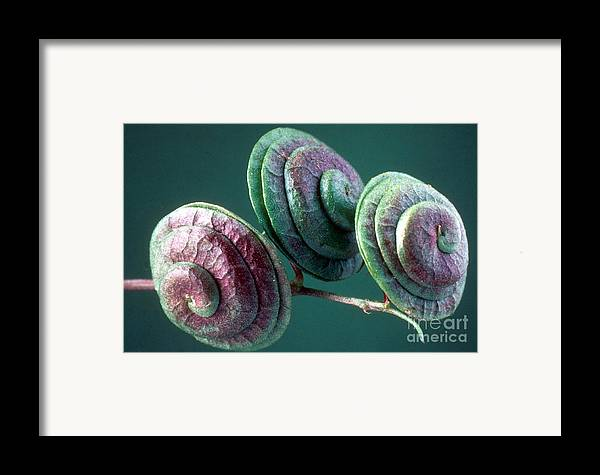 Medicago Orbicularis Framed Print featuring the photograph Fruits Of Wild Lucerne by Nuridsany et Perennou and Photo Researchers