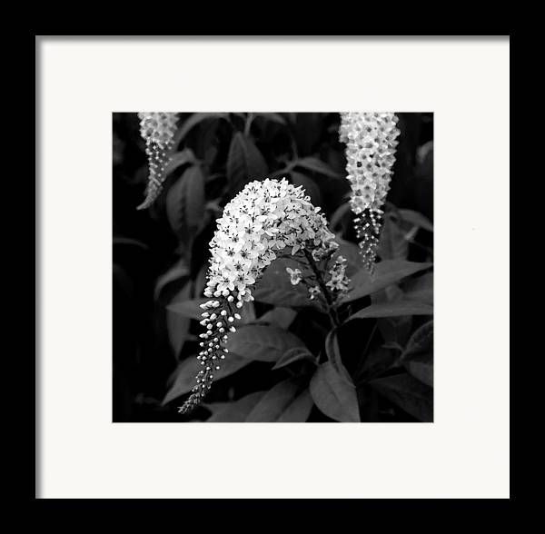 Nature Framed Print featuring the photograph Gooseneck Loosestrife by Michael Friedman
