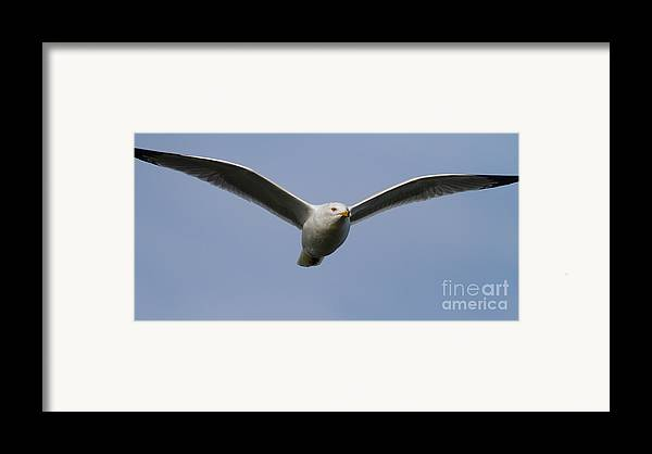 Long Framed Print featuring the photograph Gull In Flight . 7d12082 by Wingsdomain Art and Photography