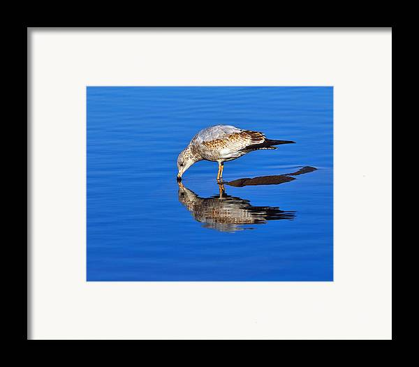 Ring-billed Gull Framed Print featuring the photograph Juvenile Ring-billed Gull by Tony Beck