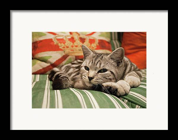 Horizontal Framed Print featuring the photograph Kitten Lying On Striped Couch by Kim Haddon Photography
