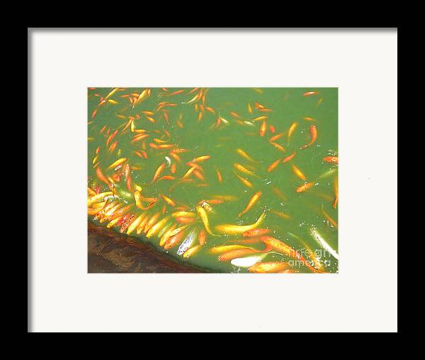 Fish Framed Print featuring the photograph Koi Frenzy by Silvie Kendall
