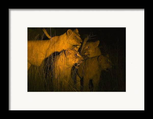 African Framed Print featuring the photograph Lions At Night by Carson Ganci