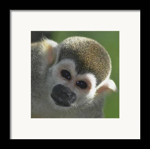 Cappucin Framed Print featuring the photograph Monkey Face by Danielle Del Prado