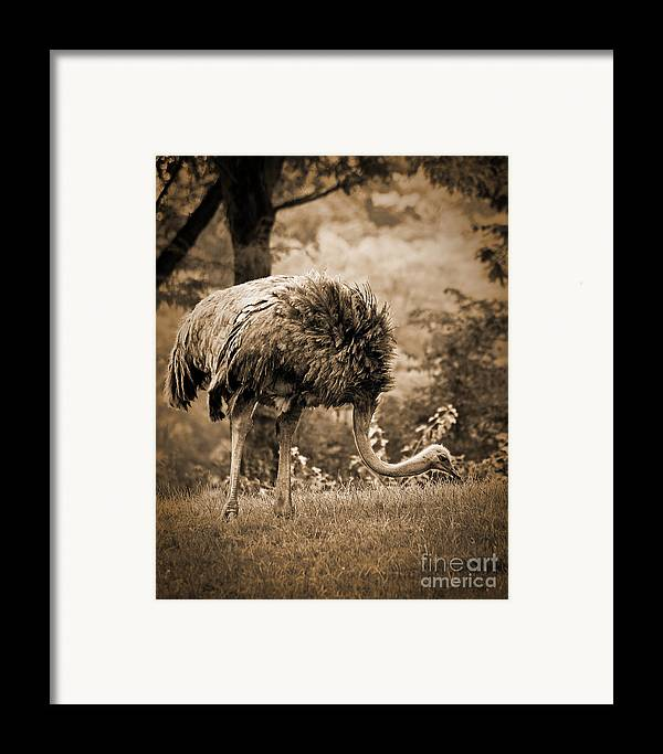 African Framed Print featuring the photograph Ostrich by Arne Hansen