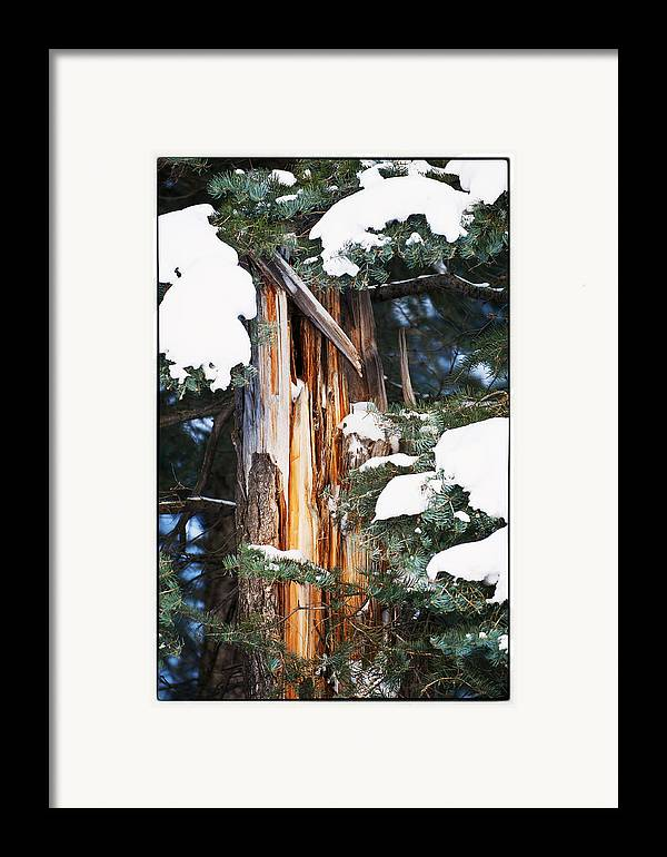 Pine Trees Framed Print featuring the photograph Pine Bark by Lisa Spencer