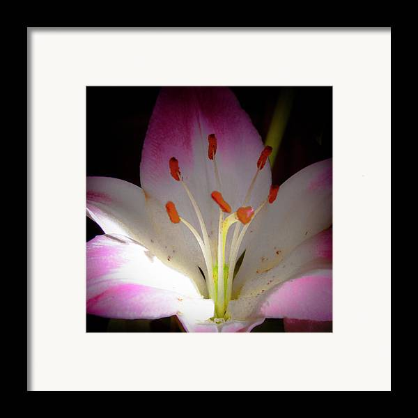 Lily Framed Print featuring the photograph Pink And White Lily by David Patterson
