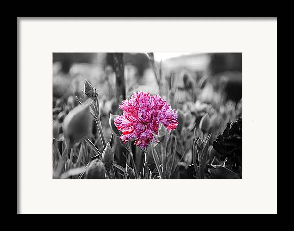Pink Carnation Framed Print featuring the photograph Pink Carnation by Sumit Mehndiratta