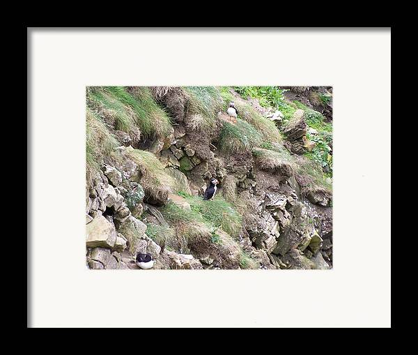 Puffins Framed Print featuring the photograph Puffins by George Leask