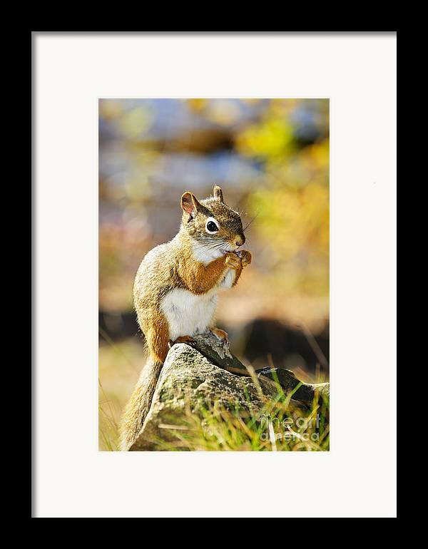 Red Squirrel Framed Print featuring the photograph Red Squirrel by Elena Elisseeva