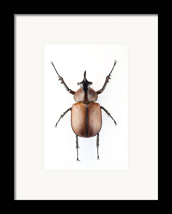 Golofa Pizarro Framed Print featuring the photograph Rhinoceros Beetle by Lawrence Lawry