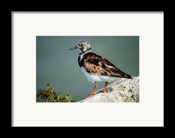 Ruddy Turnstone Framed Print featuring the photograph Ruddy Turnstone by Lynda Dawson-Youngclaus