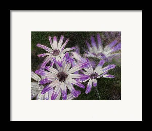 Flowers Framed Print featuring the drawing Senetti Pericallis by Steve Asbell