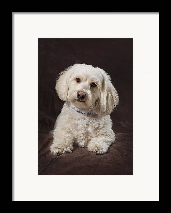Brown Background Framed Print featuring the photograph Shih Tzu-poodle On A Brown Muslin by Corey Hochachka