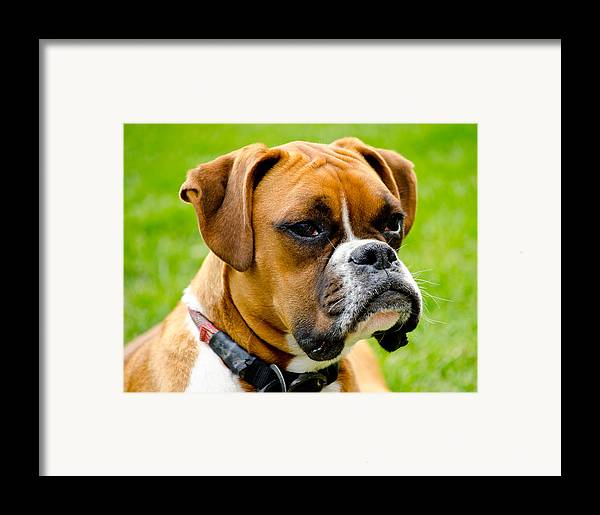 Boxer Dog Framed Print featuring the photograph Sidney The Boxer by Chris Thaxter
