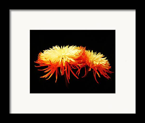 Macro Framed Print featuring the photograph Spider Mums by Yvonne Scott