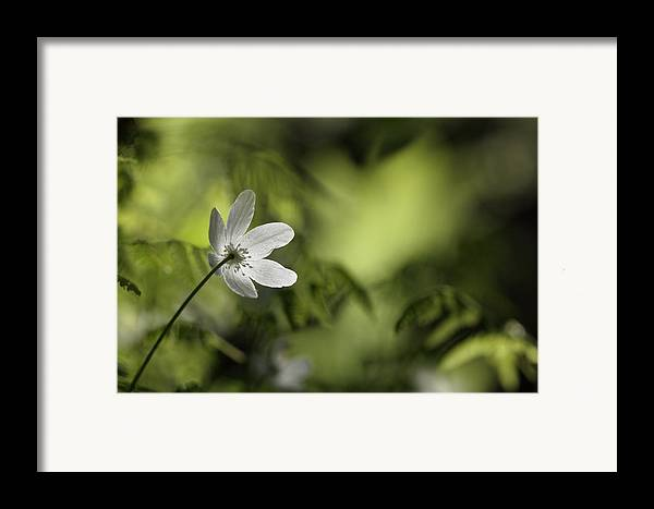 Nature Framed Print featuring the photograph Spring Anemone by Ulrich Kunst And Bettina Scheidulin