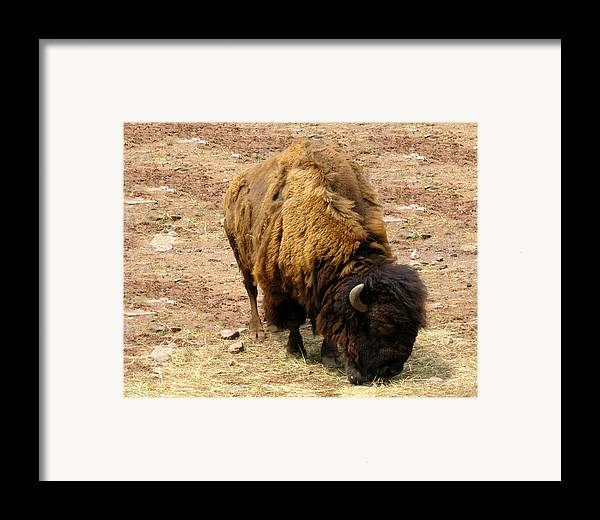 The American Buffalo Framed Print featuring the photograph The American Buffalo by Bill Cannon