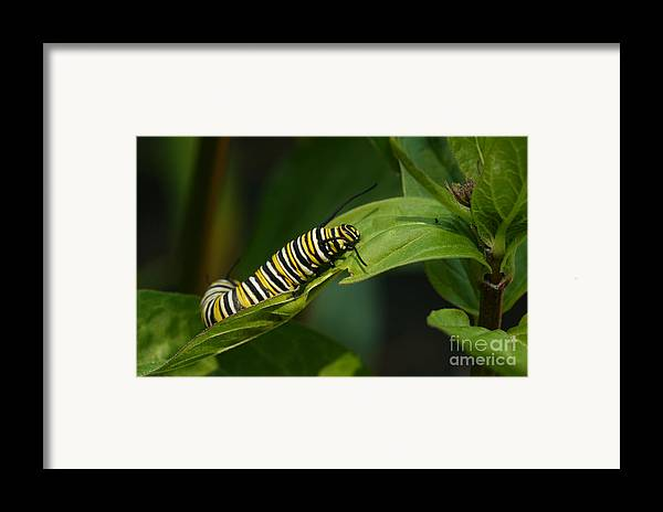 Monarch Framed Print featuring the photograph Two Caterpillars by Steve Augustin
