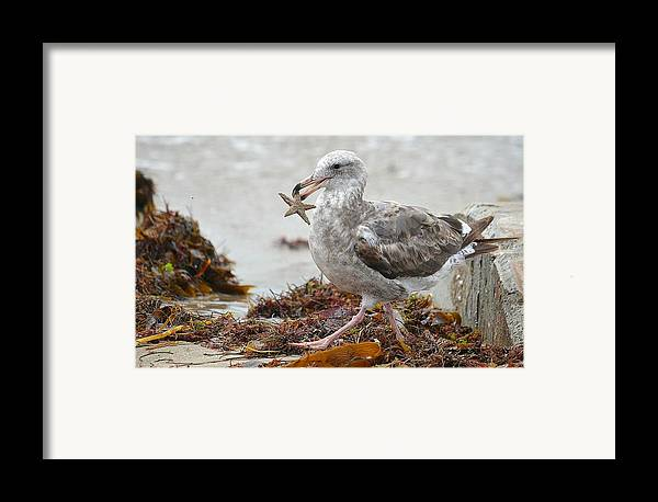 Seagull With Starfish Framed Print featuring the photograph Unwilling Star by Fraida Gutovich