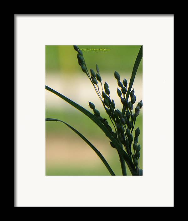 Green Grass Framed Print featuring the photograph Verdant Grain by Sonali Gangane