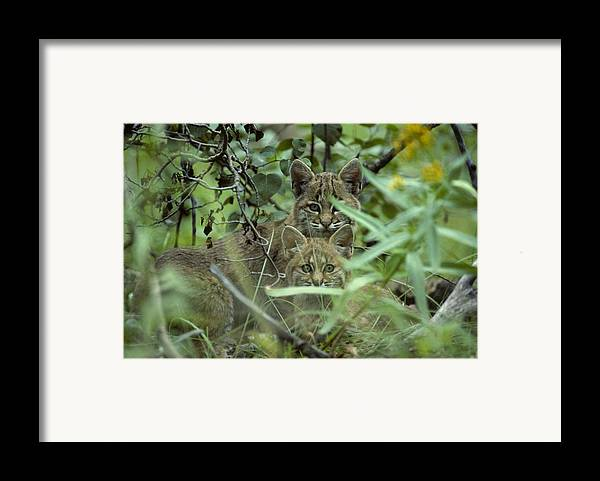 Nobody Framed Print featuring the photograph Young Bobcats by Michael S. Quinton