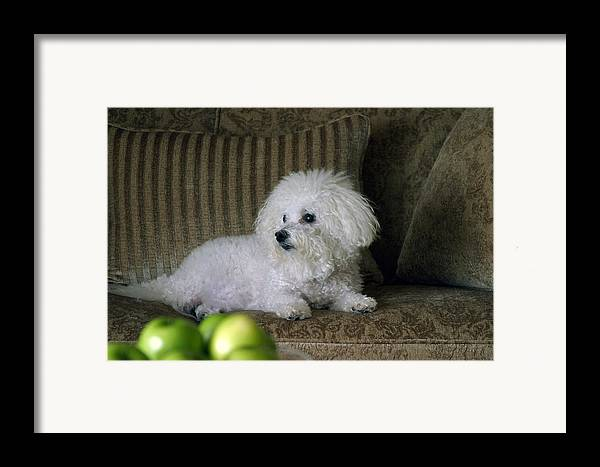 Animal Framed Print featuring the photograph Fifi The Bichon Frise by Michael Ledray