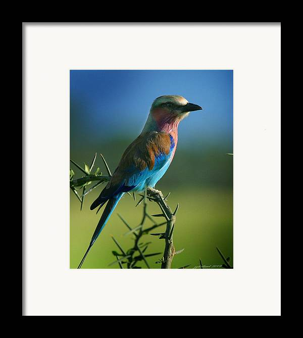 Bird Framed Print featuring the photograph Lilac Breasted Roller by Joseph G Holland