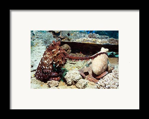 Octopus Cyanea Framed Print featuring the photograph Mating Pair Of Day Octopuses by Georgette Douwma