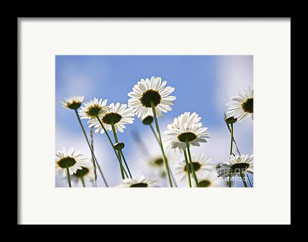 Daisy Framed Print featuring the photograph White Daisies by Elena Elisseeva