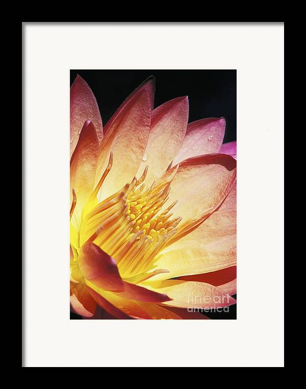 Abstract Framed Print featuring the photograph Pink Water Lily by Bill Brennan - Printscapes
