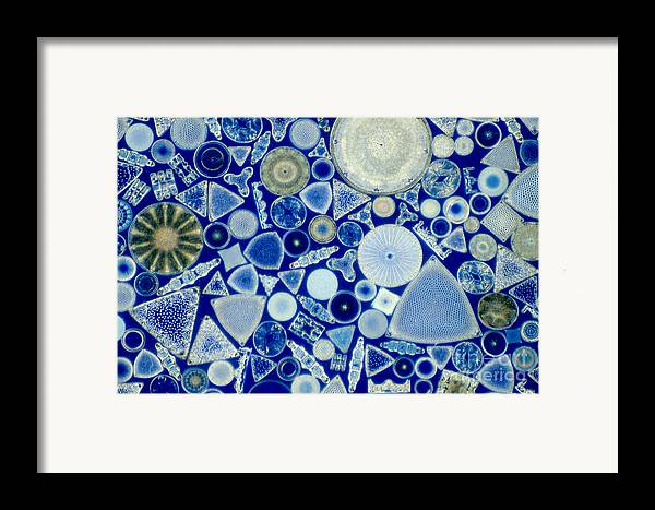 Diatom Framed Print featuring the photograph Diatoms by M. I. Walker