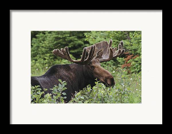 Moose Framed Print featuring the photograph A Bull Moose Among Tall Bushes by Michael Melford
