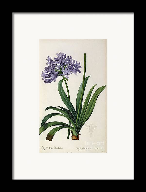 Agapanthus Framed Print featuring the painting Agapanthus Umbrellatus by Pierre Redoute