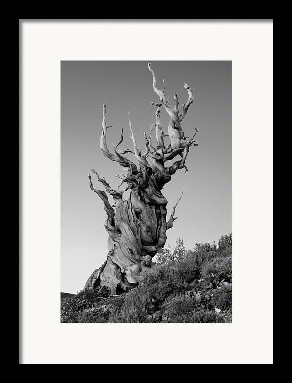 California Framed Print featuring the photograph Ancient Bristlecone Pine by Daniel Ryan