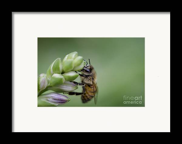 Bee Framed Print featuring the photograph Busy Bee by Andrea Silies