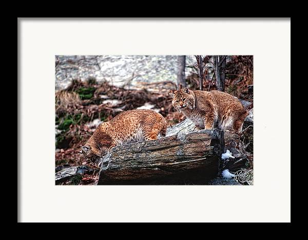 Bobcats Framed Print featuring the photograph Bobcats On The Loose by Brad Hoyt