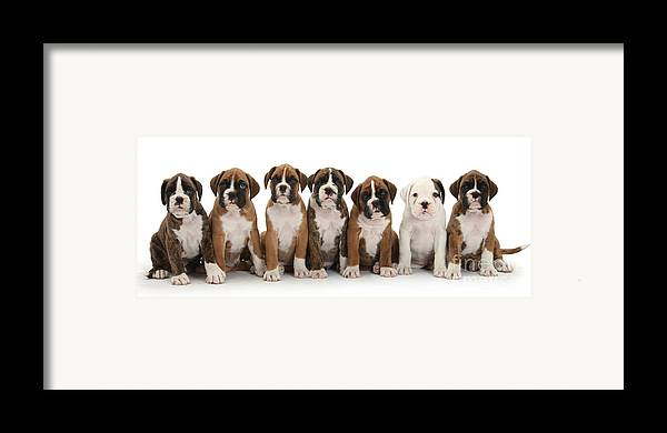 Animal Framed Print featuring the photograph Boxer Puppies by Mark Taylor