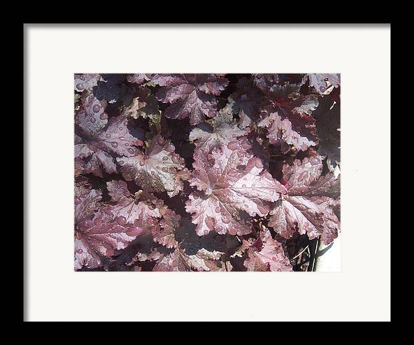 Purple Burgandy Leaves Dew Rain Drops Framed Print featuring the photograph Burgandy Leaves After The Rain by Anna Villarreal Garbis