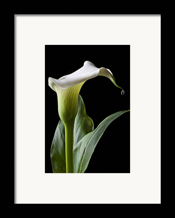 Calla Lily Framed Print featuring the photograph Calla Lily With Drip by Garry Gay