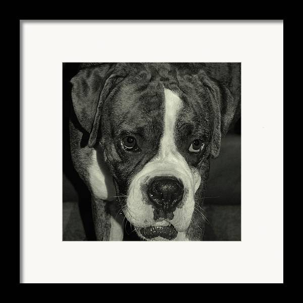 Boxer Framed Print featuring the photograph First Day Home by DigiArt Diaries by Vicky B Fuller