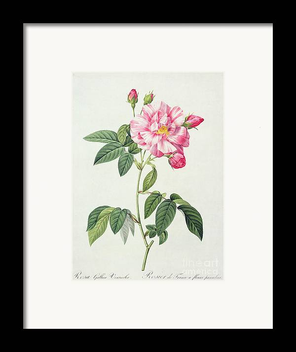 Rosa Framed Print featuring the drawing French Rose by Pierre Joseph Redoute