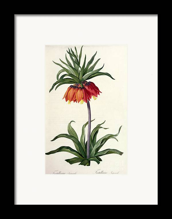 Fritillaria Framed Print featuring the drawing Fritillaria Imperialis by Pierre Joseph Redoute