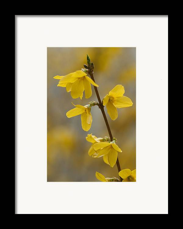 Forsythia Framed Print featuring the photograph Golden Forsythia by Kathy Clark