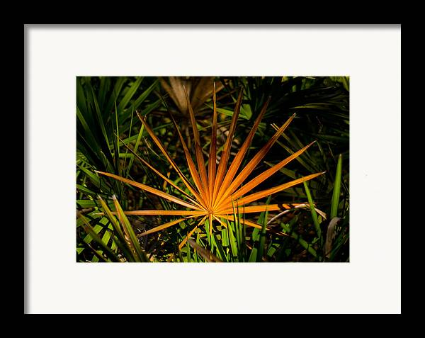 Florida Framed Print featuring the photograph Golden Saw Palmetto by John Myers