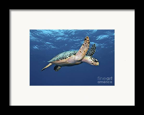 Caribbean Framed Print featuring the photograph Hawksbill Sea Turtle In Mid-water by Karen Doody
